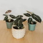Alocasia Black Velvet Tropical Houseplants Bark Vine