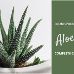 Complete Aloe Vera Houseplant Care Planting To Harvest Verdure Teas