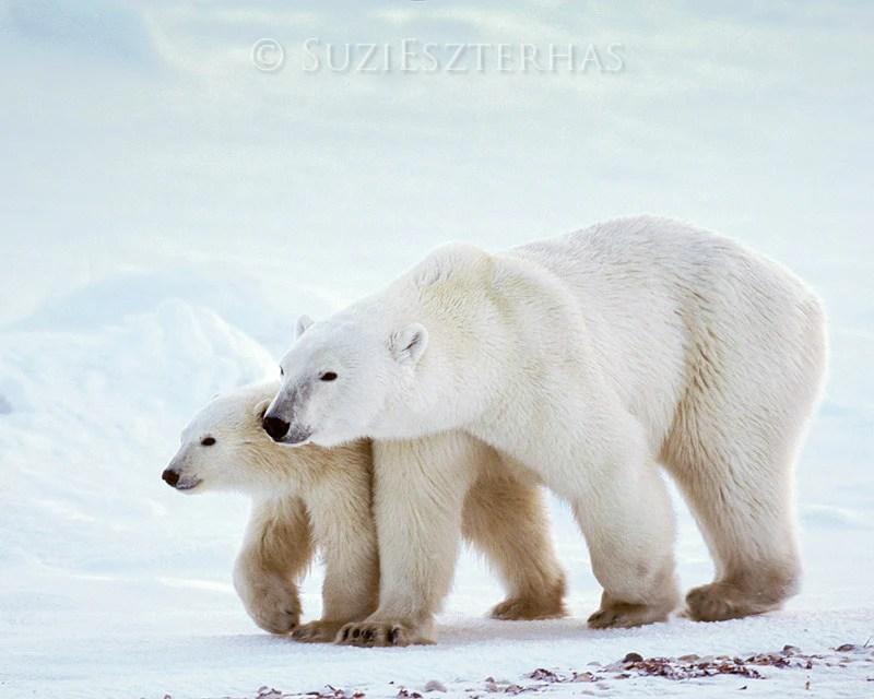 Mom And Baby Polar Bear Photo Baby Animal Prints By Suzi