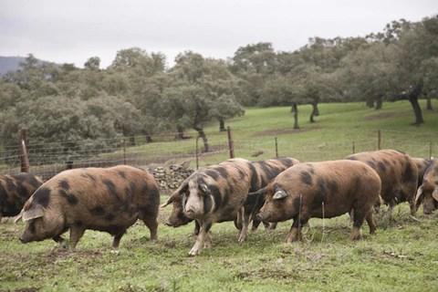 Cerdo manchado de jabugo en huelva