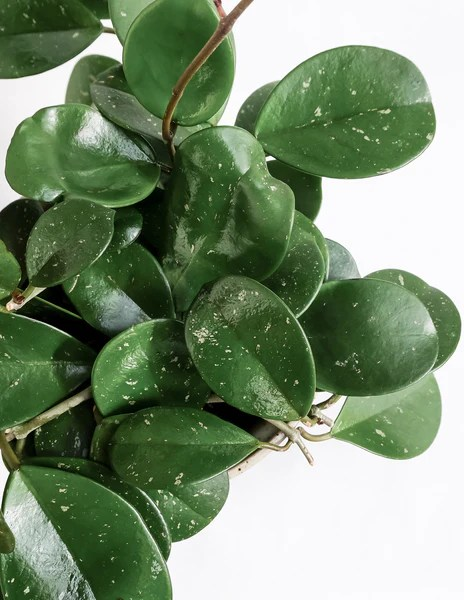 Hoya Obovata Shop Specimen Plants Anthurium Hoya And More Pistils Nursery