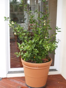 Grow and make your own tea with Camellia sinensis Tea Plants