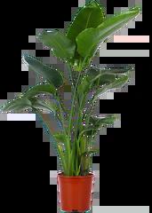 Strelitzia (paradijsvogelplant)