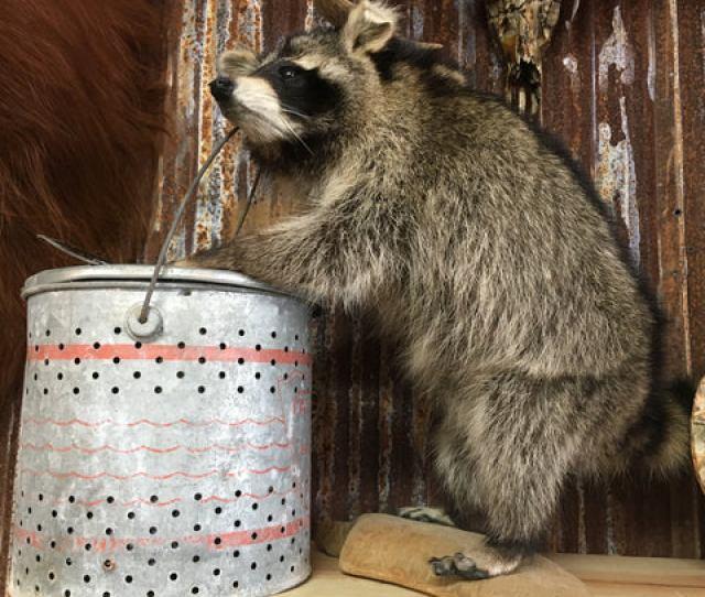 Raccoon With Minnow Bucket
