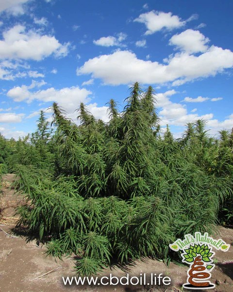 That's Natural CBD Oil - full spectrum cannabinoids and terpenes from Colorado hemp - legal in all 50 States - Supercritical CO2 extraction, Pure, Potent, Trusted at cbdoil.life and www.cbdoil.life - Thats Natural topical CBD products, CBD muscle jelly, CBD face lotion, CBD face creme