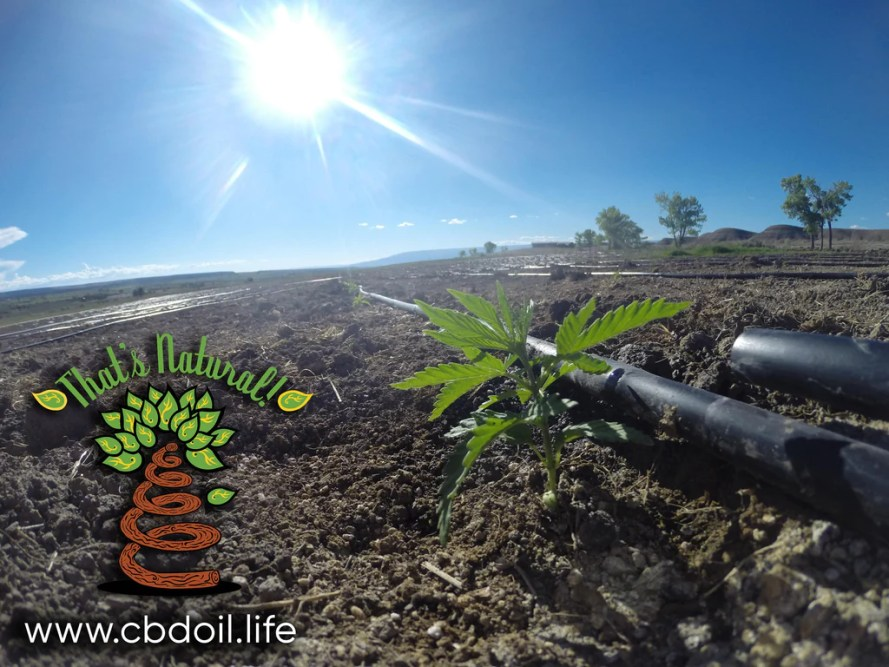 Colorado hemp plants in a field in the North Fork Valley of Colorado.  That's Natural CBD Oil from hemp is legal in all 50 States - full spectrum of cannabinoids and terpenes at cbdoil.life