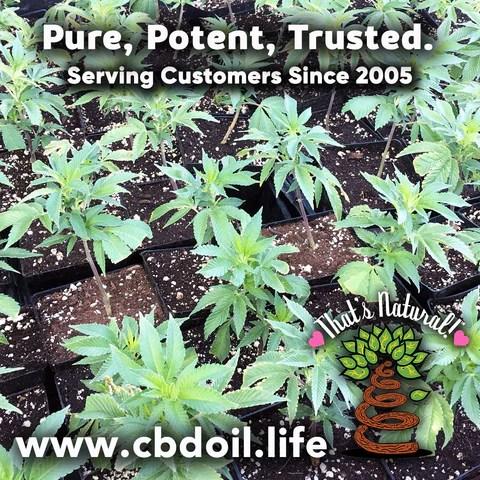 most trusted CBD, best-rated CBD - Entourage Effect - That's Natural full spectrum CBD oil products with cannabinoids and terpenes - experience the entourage effect with Thats Natural CBD Oil, legal hemp CBD, hemp legal in all 50 States, CBD, CBDA, CBC, CBG, CBN, Cannabidiol, Cannabidiolic Acid, Cannabichromene, Cannabigerol, Cannabinol; beta-myrcene, linalool, d-limonene, alpha-pinene, humulene, beta-caryophyllene - find at cbdoil.life and www.cbdoil.life