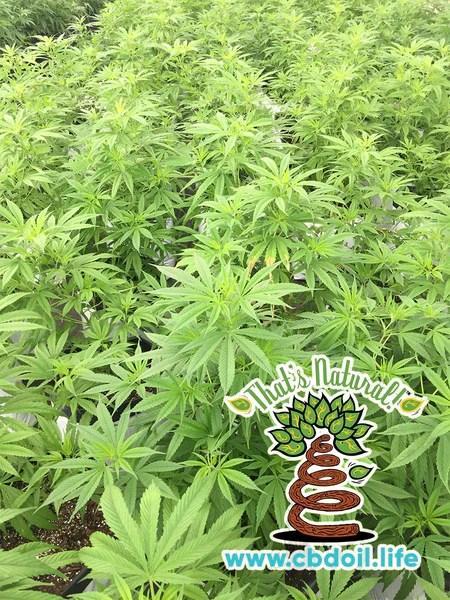 Definition of the Endocannabinoid System or ECS from Wikipedia - What is the Endocannabinoid System or ECS - That's Natural cannabinoid and terpenes rich CBD hemp oil at www.cbdoil.life and cbdoil.life