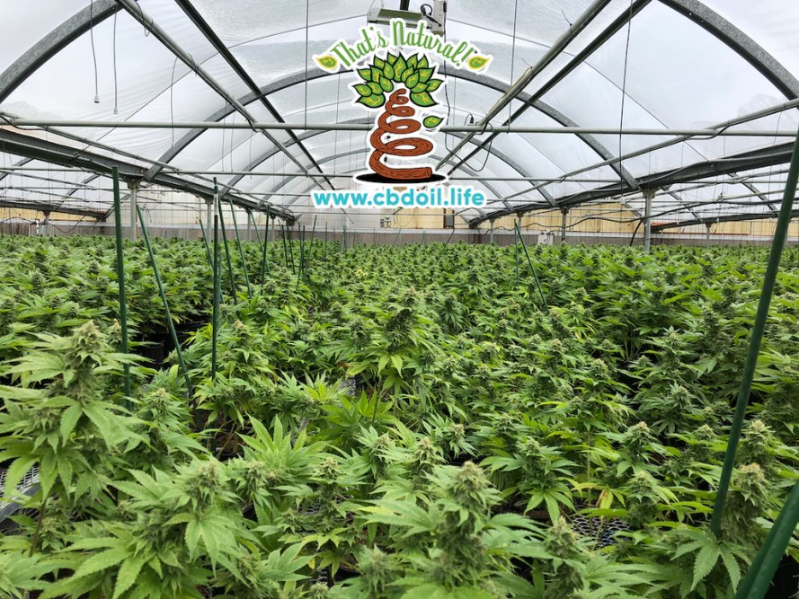 That's Natural Colorado Hemp Greenhouses in the San Luis Valley of Colorado - Find Thats Natural CBD products at www.cbdoil.llife, cbdoil.life, and thatsnatural.info - Pure, Potent, Trusted CBD oil product - truly natural and truly full spectrum - CBD topicals that really work!