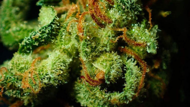 Trichomes on weed plant indicate harvest time