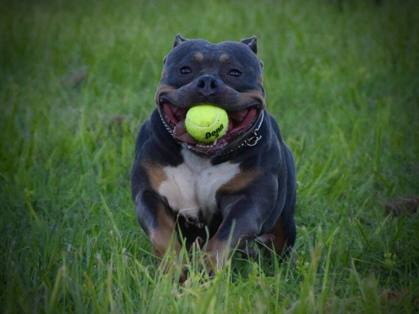 ABKC Champions, ABKC Champion, American Bully Females, Pocket Bully, American Bully Kennels, American Bully Breeders, Best American Bully Bloodlines, Pocket Bully, Micro Bully, Extreme Bully, XXL, Pitbulls, American Bully Puppies For Sale,