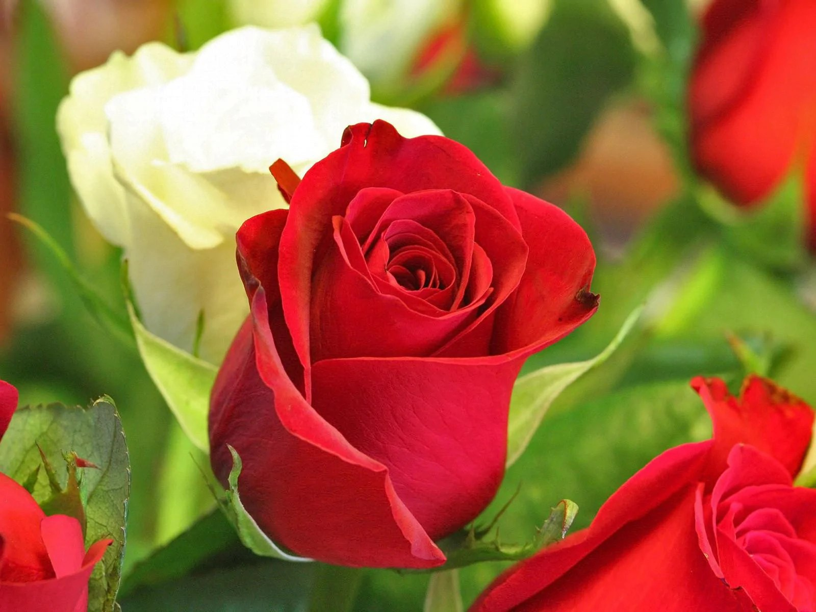 Image result for roses