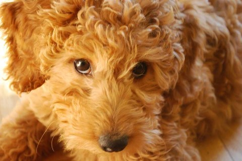 Goldendoodle - Fun Facts and Crate Size – Pet Crates Direct