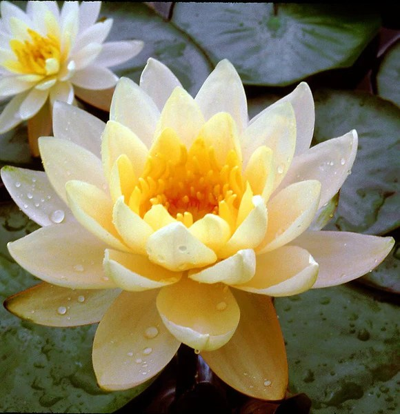 Water Lily Plants Sale