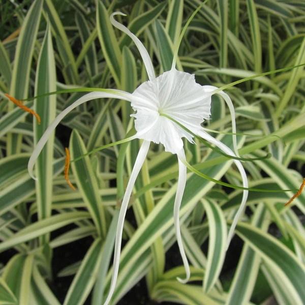 Water Lilies Sale Online