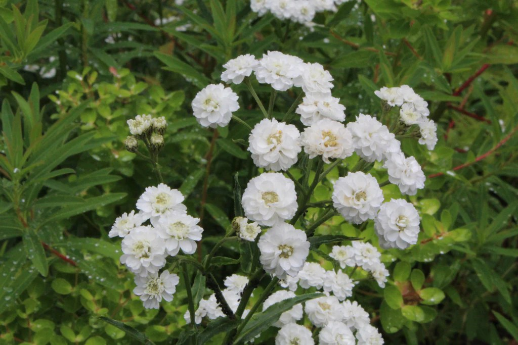 Achillea Ptarmica The Pearl Group The Pearl Clonal