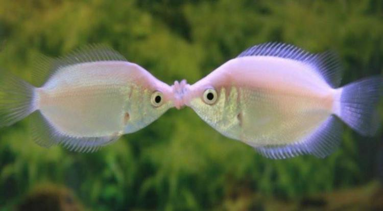 Image result for kissing gourami