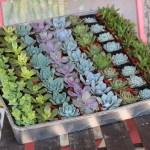 2 Wedding Succulents Wedding Succulent Favors For Sale Bulk Succulents