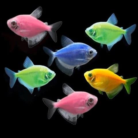 GloFish® Tetra Basic Assortment – GloFish, LLC