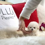 Purchased By Thai Benji Maltipoo M Rolly Pups Inc
