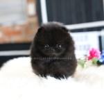 Sold To Khalifa Blake Pomeranian M Rolly Pups Inc