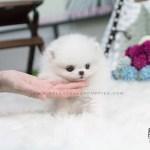 Teacup Pomeranian Husky For Sale Near Me