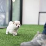 Sold To Bass Shiro Shiba Inu M Rolly Pups Inc