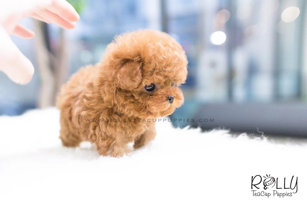 maltese puppy for sale near me teacup maltese puppies for sale near me 5202