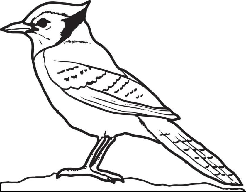 printable blue jay coloring page for kids – supplyme