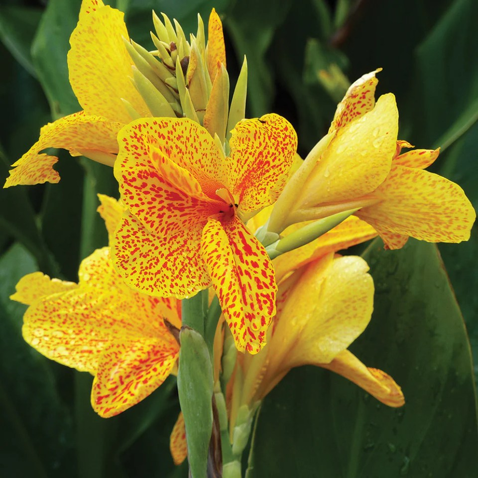 Cannas Planting Guide – Easy To Grow Bulbs