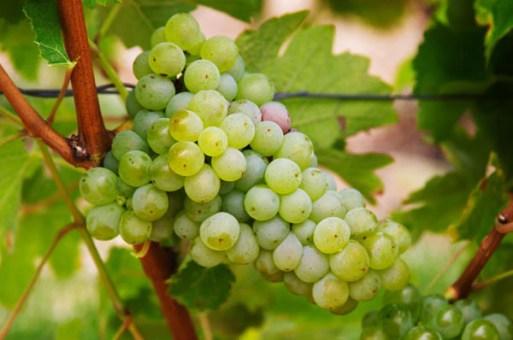 Sauvignon Blanc Grape - Womack Nursery