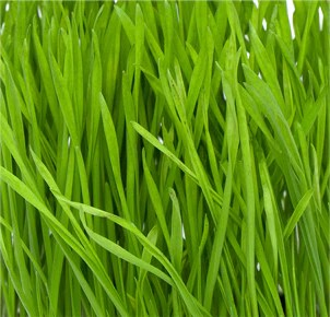 Organic Wheat Grass Juice