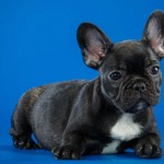 Quick Tips For Owning A Healthy And Happy French Bulldog Frenchie Shop