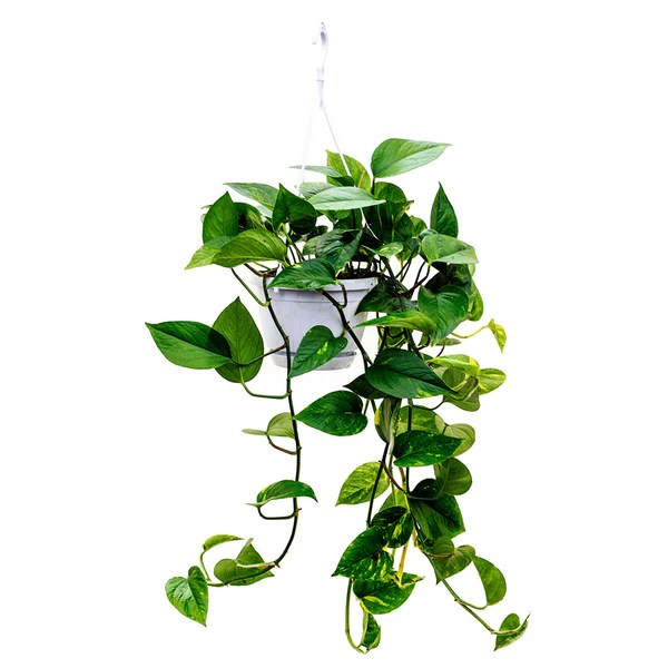 Easy Outdoor Hanging Plants