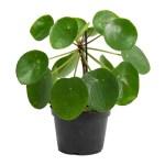 Pilea Peperomioides Chinese Money Plant Hortology