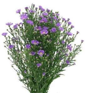 Aster   Miami Flower Market   Bulk Wholesale Flower Delivery Aster