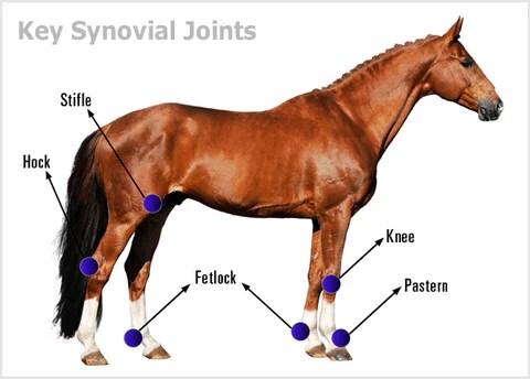 Horse Anatomy - Mobility Health