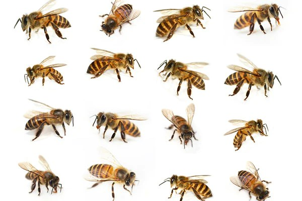 Osbeehives Types Of Bees Their Traits