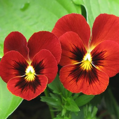Red Tricolor Viola Pansy Flower Seeds     Jack Seeds Red Tricolor Viola Pansy Flower Seeds