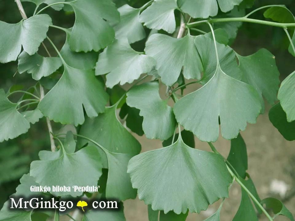 Ginkgo Biloba Pendula Weeping Male Ginkgo Tree Mr