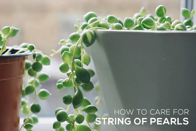 How To Care For String Of Pearls Plant Succulents Box