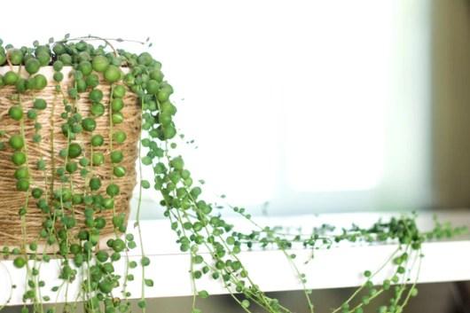 Aprenda a cultivar o colar-de-pérolas