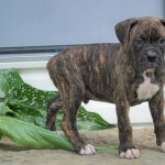 Akc Registered Boxer Puppy For Sale Baltic Oh Male George Ac Puppies Llc