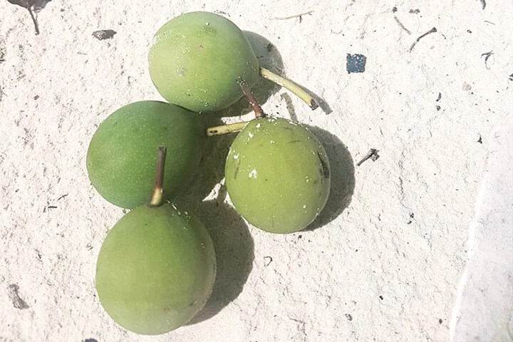 Tamanu Nuts Curing in the Sun - Tamanu Australia