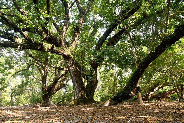 Tamanu Tree in Vanuatu - Tamanu Australia