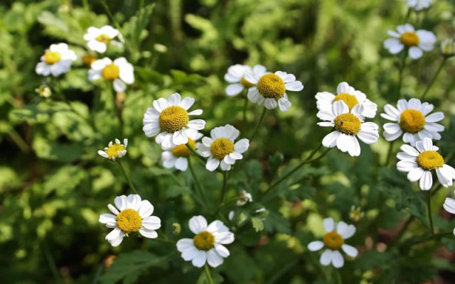 Image result wey dey for Feverfew with headache
