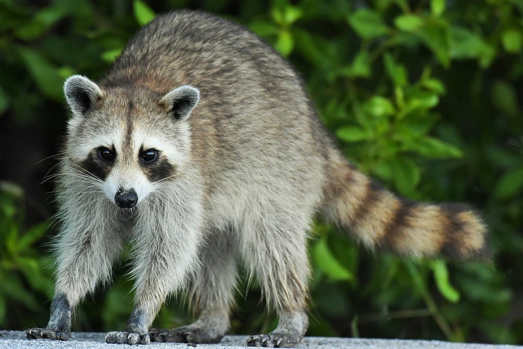 How To Keep Raccoons Out Of Trash The Easy Way Citibin