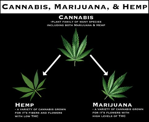 The difference between hemp and marijuana and the cannabis plant family.