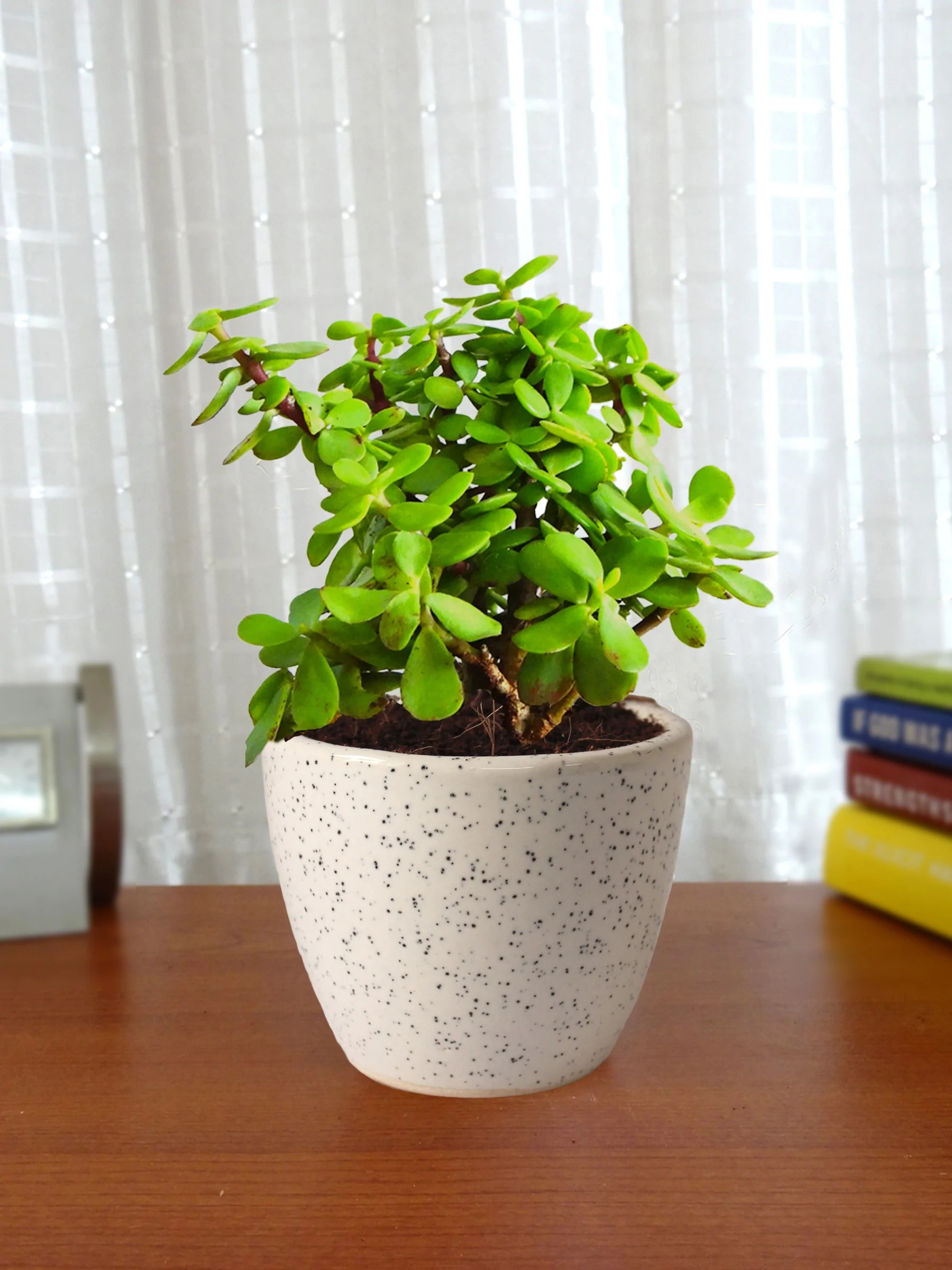 Good Luck Jade Plant In White Round Dew Ceramic Pot Plants Online India Rollingnature