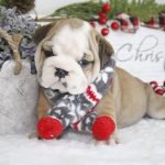 Available Puppies Dreamy Bulldogs